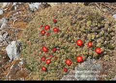 Mound cactus flowers (Tephrocactus floccosus) in the Cordillera Blanca, Ancash, Peru (jitenshaman) Tags: travel worldtravel destination destinations southamerica latinamerica peru peruvian andes andean huaraz cordillera mountains beautiful nature outdoors ancash theandes cordillerablanca flora flower flowers cactus cacti tephrocactusfloccosus moundcactus cactusflowers desertflowers desert highdesert prickly sharp vivid austrocylindropuntiafloccosa claretcup hedgehog trauhii glochid glochids spiny spines santacruz santacruztrek