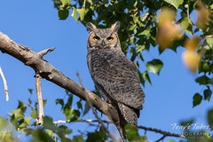 October 6, 2019 - A great horned owl keeping watch. (Tony's Takes)
