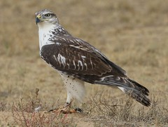 October 8, 2019 - A ferruginous hawk staking out the ground.  (Bill Hutchinson)
