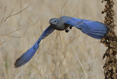 October 8, 2019 - A mountain bluebird on a stop as it heads south.  (Bill Hutchinson)