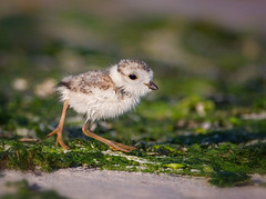 Before the Storm (Kathy Macpherson Baca) Tags: bird endangered piping plover world chick ocean sand nest eggs earth adorable aves planet wildlife