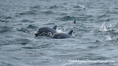 Gray's Spinner Dolphin (Stenella longirostris longirostris) DSC_4347 (fotosynthesys) Tags: graysspinnerdolphin stenellalongirostrislongirostris spinnerdolphin stenellalongirostris oceanicdolphin delphinidae marinemammal srilanka