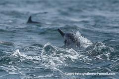 Gray's Spinner Dolphin (Stenella longirostris longirostris) DSC_3719 (fotosynthesys) Tags: graysspinnerdolphin stenellalongirostrislongirostris spinnerdolphin stenellalongirostris oceanicdolphin delphinidae marinemammal srilanka
