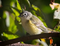 Blue-headed vireo (Goggla) Tags: centralpark blueheaded vireo nyc new york manhattan 2019 fall migration urban wildlife bird goglog