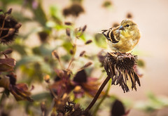 Gold Finch on Echinacea (valan90) Tags: goldfinch seeds garden echinacea cone flower coneflower autumn bird