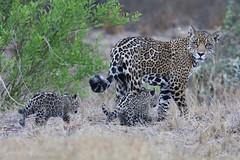 Báo đốm ở khu sinh thái Gran Chaco ( Paraguay ) (quynhchi19102016) Tags: ve may bay gia re di paraguay