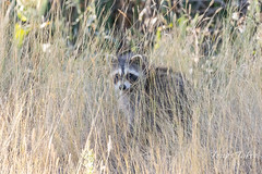 October 6, 2019 - A racoon hides in the grass. (Tony's Takes)