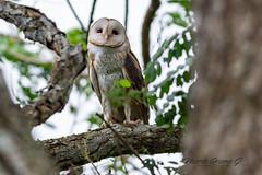 Barn Owl (Mario Arana G) Tags: 7d ave barnowl bird birding cr canon costarica florayfauna marioarana nature naturephotography orotina owl photography wildlife wildlifecostarica