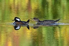 Hooded Merganser (kevinwg) Tags: hooded merganser hoodedmerganser lake pond bird water