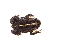 Oak Toad on white 3 (brian.magnier) Tags: macro florida fl usa meet your neighbors white background oak toad amphibian cute herp herpetology wildlife animals nature