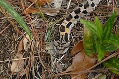 Eastern Hog Nosed Snake (vbvacruiser - Catching Up After Vacation) Tags: northcarolina outerbanks obx southernshires reptile snake easternhognosedsnake