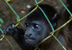 Let Me Out (rlt64) Tags: monkeys howler monkey rescue nature babies costa rica sanctuaries