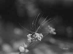 A Weed Or Seed On Purnima Flowers (Sheuli Hossain) Tags: flower nature seed weed blackandwhite purnimaflower bangladesh