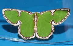 Green Lantern moth Comostola sp aff cedilla Geometridae Geometrinae Mandalay rainforest Airlie Beach P1066565 (Steve & Alison1) Tags: green lantern moth comostola sp aff cedilla geometridae geometrinae mandalay rainforest airlie beach