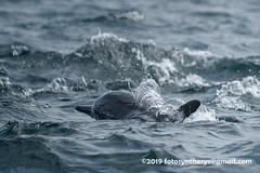 Gray's Spinner Dolphin (Stenella longirostris longirostris) DSC_3686 (fotosynthesys) Tags: graysspinnerdolphin stenellalongirostrislongirostris spinnerdolphin stenellalongirostris oceanicdolphin delphinidae marinemammal srilanka