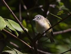 Blue-headed vireo (Goggla) Tags: centralpark blueheaded vireo nyc new york manhattan 2019 fall migration urban wildlife bird