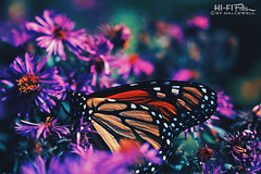monarch beauty (Hi-Fi Fotos) Tags: monarch butterfly insect flower macro bug nature milkweed wanderer tiger pollinator beauty oudoors nikkor 40mm micro nikon d7200 dx hififotos hallewell bokeh dof color