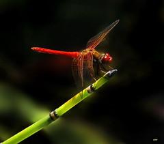 Red-veined Meadowhawk 2024 (Ethan.Winning) Tags: redveined meadowhawk dragonfliesanddamselflies odonata insects northern california inland area only mtdiablowalnutcreekca canonsx50 copyrightethanwinning