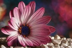 Fallen (Michael Schönborn) Tags: nx500 nx50200f456 samsung flower studio focusstacking stacked macro closeup blurry dof