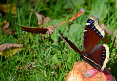 Two butterflies face-off over a rotten apple (Explored) (ctberney) Tags: questionmark polygoniainterrogationis mourningcloak nymphalisantiopa butterflies insects challenge apple backyard nature ontario canada