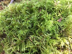 Kindbergia and Rhytidiadelphus (thnomad) Tags: bryophyte moss liverwort