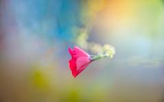 wildflower (Dhina A) Tags: sony a7rii ilce7rm2 a7r2 a7r kodak ektanar c 102mm f28 projection projector lens kodakektanar102mmf28 vintage bokeh smooth soft bubble manualfocus wildflower linum grandiflorum