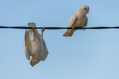 Birds on a wire - Long-billed Corellas - Just Hanging Around! (Merrillie) Tags: woywoy nature australia corella wire newsouthwales animal springtime wild wildlife spring twoofakind longbilledcorella bird wings outdoors red fauna centralcoast nsw matingseason