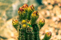 Torch Cactus Buds (Carl Cohen_Pics) Tags: torchcactus trichocereusgrandiflorus canon canon7dmarkii cactus bud flora flower floweringcactus spring nature naturephotography arizona chandler oakwoodlakes