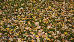 283/365 Autumn Leaves (OhWowMan) Tags: ohwowman nikon nikkor d3300 acdseepro9 my2019challenge 365project animageaday dailyphotography 365the2019edition 3652019 day283365 10oct19 autumn fall alaska anchorage leaves outside outdoor