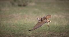 BT3A4552-1 (M Coopwood) Tags: owl burrowing bird flight wildlife nature