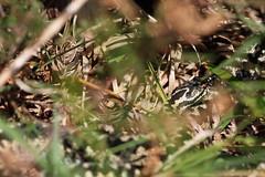 Male Adder. (ChristianMoss) Tags: adder snake reptile uk vipera berus