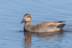 Gadwall (Glenn.B) Tags: hamwall nature naturereserve rspb someretlevels somerset wildlife gadwall duck waterfowl wildfowl water