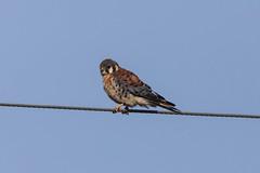 American Kestrel (mobull_98) Tags: americankestrel falcon male
