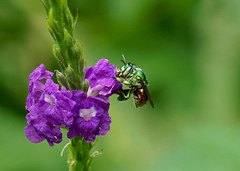 Orchid Bee --- Euglossa sp (creaturesnapper) Tags: panama bees hymenoptera insects orchidbee euglossasp