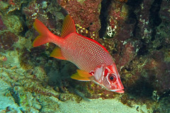 really red (BarryFackler) Tags: animal aquatic sea scuba southkona sealife seacreature sealifecamera sandwichislands saltwater 2019 diving diver dive fauna hawaii hawaiiisland hawaiicounty honaunau honaunaubay hawaiidiving hawaiianislands konacoast kona konadiving life fish longjawsquirrelfish sargocentronspinoferum alaihi squirrelfish sspinoferum sabersquirrelfish vertebrate creature marinelife organism wildlife being zoology barryfackler barronfackler bigisland bay biology marinebiology bigislanddiving nature marine marineecosystem marineecology westhawaii water ecology ecosystem reef tropical undersea underwater ocean outdoor pacificocean polynesia pacific island
