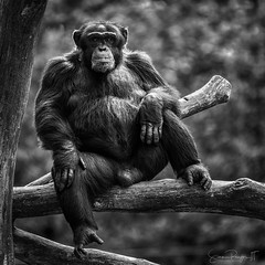 Manspreading (Simmie | Reagor - Simmulated.com) Tags: 2017 animals connecticut connecticutphotographer june landscape landscapephotography massachusetts nature naturephotography newengland newenglandcapecod outdoors southwickzoo unitedstates zoo ctvisit digital https500pxcomsreagor httpswwwinstagramcomsimmulated wwwsimmulatedcom mendon unitedstatesofamerica zoosofnorthamerica