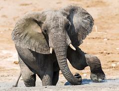 Big Girl (Thomas Retterath) Tags: thomasretterath nature natur 2018 safari nopeople fluss chobe botswana africa afrika river wildlife rüssel trunk stoszähne loxodontaafricana bigfive africanelephant elefant elephantidae pflanzenfresser herbivore säugetier mammals animals tiere tusks coth5