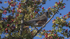 Perched and ready (woodwindfarm) Tags: american robin feeding