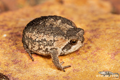 Breviceps montanus - Mountain Rain Frog. (ping.tyrone) Tags: breviceps montanus mountain rain frog frogging amphibian amazing cute frogs tyrone ping wwwtyronepingcoza nature natural macro photography southern africa african herpetology herps close up national ngc creature critter