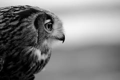 _X5C3701 (carlo612001) Tags: monochrome bw bnw canonteam eagleowl owl owls gufo guforeale occhi eyes