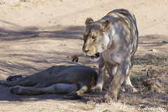 Lion d'Afrique / African Lion (Herve Tainturier) Tags: liondafrique africanlion lion félin