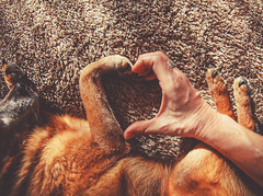 photo of a person and a dog making a heart shape with the hand and paw in natural sunlight with rays of sunshine toned with a retro vintage instagram filter (dogdaystipsandtraining) Tags: love vintage retro filter instagram unique different new fresh authentic breed human thumb mammal paw tiny friendship sunny fingers ring muted companion old pup buddy layer mutt doggy best sunshine small friend togetherness woman pure valentines heart pooch furry effect puppy canine purebred pet man toned dog hand happy animal unitedstatesofamerica