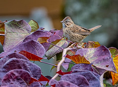 Lincoln's Sparrow on a Red Bud Tree