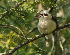Laughing Kookaburra (rankenhohn59) Tags: bird animal australian native nature wildlife woodland
