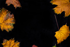Autumn leaves on a black background (Artem Beliaikin) Tags: fall autumn nature leaf black red season tree background plant color yellow orange maple brown foliage green bright isolated space forest natural old october dark pattern beautiful decoration frame branch seasonal macro texture dry single closeup holiday autumnal food thanksgiving abstract wood lush beauty vibrant botany empty september white sunlight