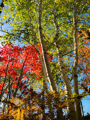 Red, White & Green (MaryMarthaK) Tags: autumn trees red white green lake beautiful maple michigan birch flickritis