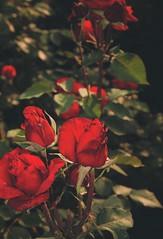 Roses (j-roc2) Tags: redroses roses rose fiore fiori flowers