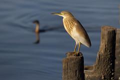 Squacco Heron (steve whiteley) Tags: nature wildlife wildlifephotography bird birdphotography thegambia squaccoheron heron water ardeolaralloides