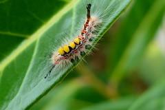 Schlehen-Bürstenspinner (ivlys) Tags: istrien istria kavran garten garden raupe caterpillar bunt colourful natur nature makro macro schlehenbürstenspinner schlehenspinnerkleinerbürstenspinnerorgyiaantiquarustytussockmothivlys
