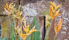 Nature... (mukramin) Tags: ic dmcgm1 indonesia bali grey asia southeast den pasar penglipuran village bangli regency gianyar penjor bamboo indonesie azie sarong traditional photoadd nature plants yellow wall